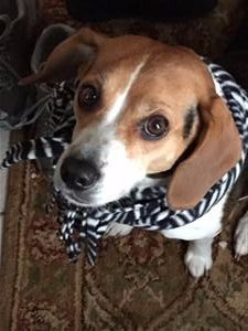 Beagle with scarf