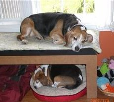 Beagles sleeping on bunk beds