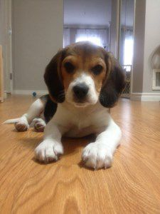 6 month old Beagle puppy
