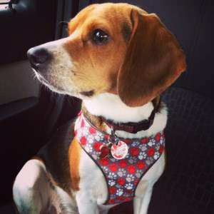 2 year old male Beagle