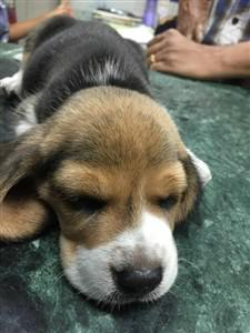 1 month old beagle puppy sleeping