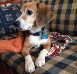 Beagle rescue dog