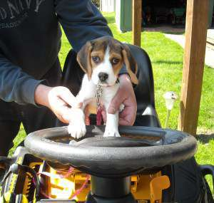 Beagle on tractor