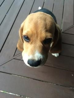 Beagle pup looking up
