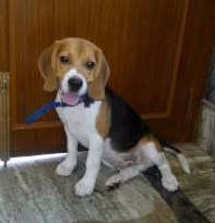 6 month old Beagle dog