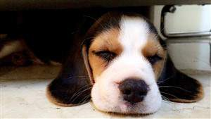 Beagle sleeping under the bed