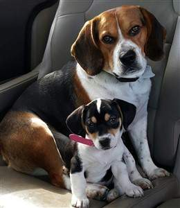 brother and sister Beagles