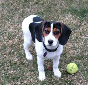 4 month old female Beagle puppy