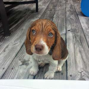 The cutest beagle photo gallery beagle pictures slide title voltagebd Gallery