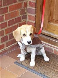 Beagle with jacket on