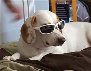 Beagle wearing sun glasses