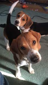 two Beagles together