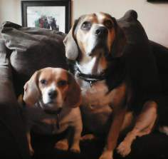 two cute Beagles male and female