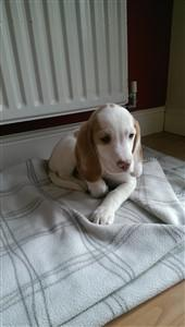 white Beagle dog