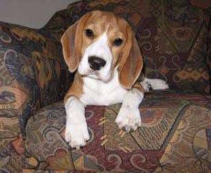 5 month old Beagle puppy