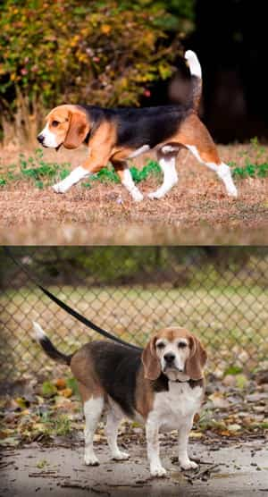Beagle-healthy-weight-vs-overweight
