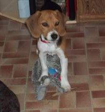 Beagle puppy 6 months old