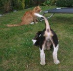Beagle pouncing on cat