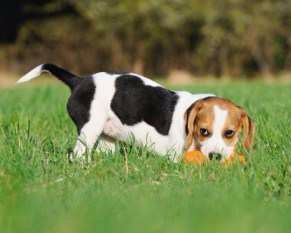 Beagle fetching