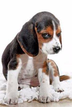 Beagle for blog