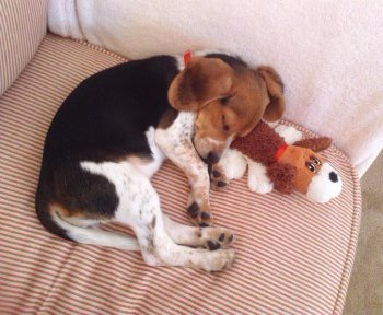 Beagle 4 month old girl