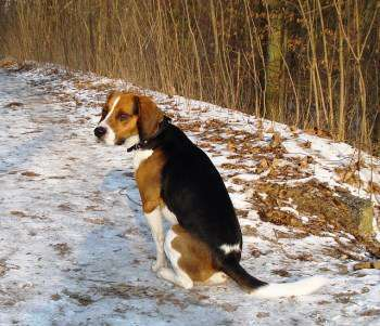 Beagle outside in the winter