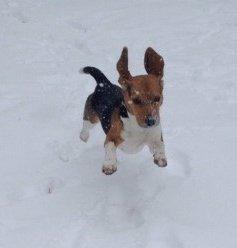 Beagle in winter, outside in snow