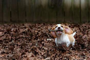 Beagle puppy in woods with stick in mouth