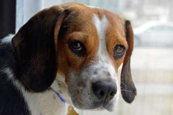Beagle looking out of window