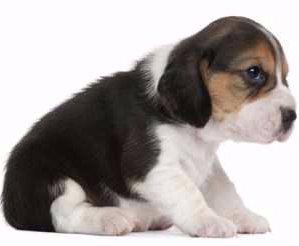 Beagle newborn puppy