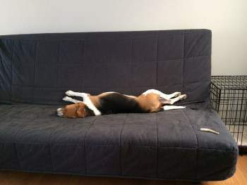 2.5 year old male Beagle on couch