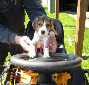 Beagle outside on a tractor