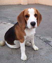 small Beagle pup
