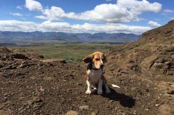 Beagle puppy on a hill