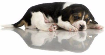 what is the cost of a beagle puppy