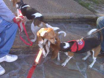 Bed bug Beagle dogs
