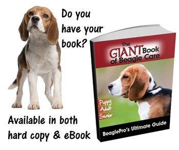 Beagle dog brown ears
