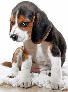 coy Beagle puppy