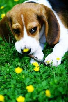 female Beagle in flower bed