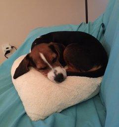 Beagle dog's nose