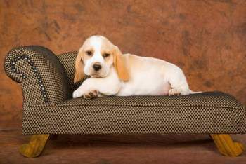 Miniature Beagle Puppies For Sale In Florida Pictures to pin on ...