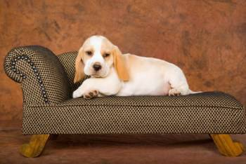 lemon colored Beagle