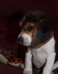 little Beagle puppy 8 weeks old