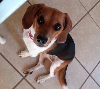 super cute Beagle