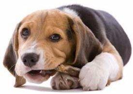 teething Beagle puppy