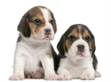 two Beagle pups