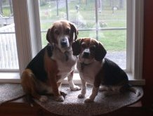 two Beagles sitting at window