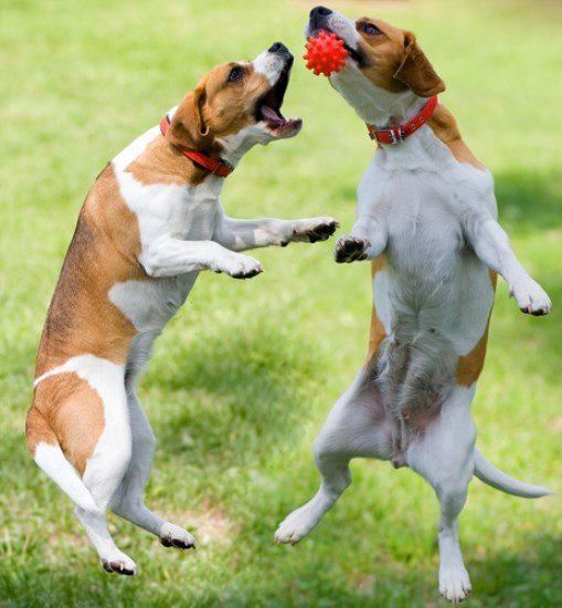 two Beagles playing