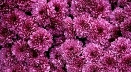 Crisantemi, Fiori funerali, Addobbi funerale