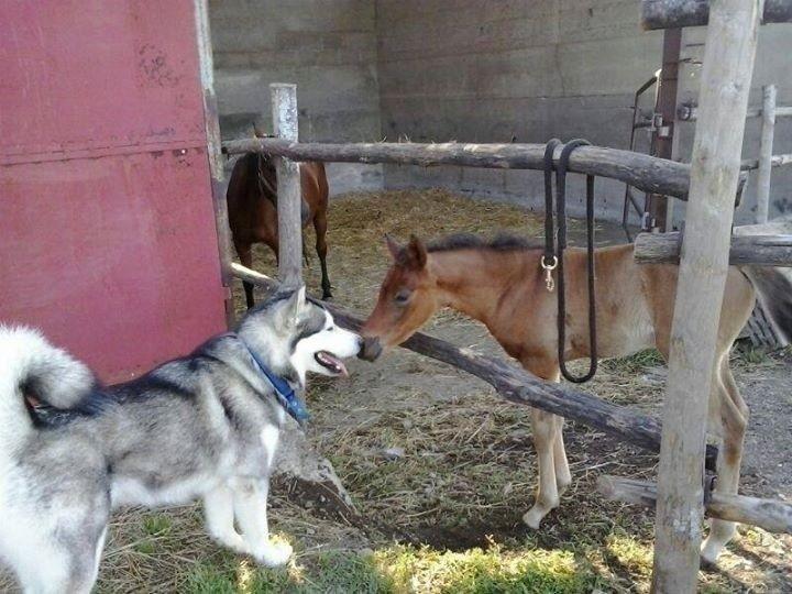 husky vicino un cucciolo di cavallo
